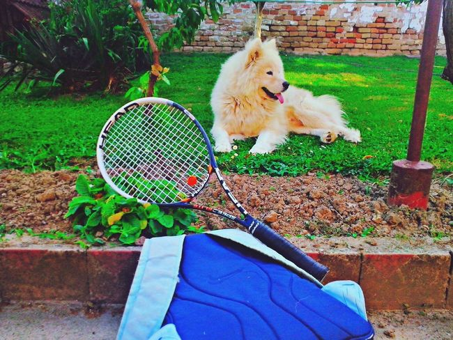 Dog Samoyed Dog❤ His name is Max