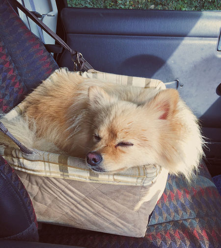 Dog sleeping in a car basket. Pet Portraits Animal Themes Close-up Day Dog Domestic Animals Indoors  Mammal No People One Animal Pets Portrait Relaxation