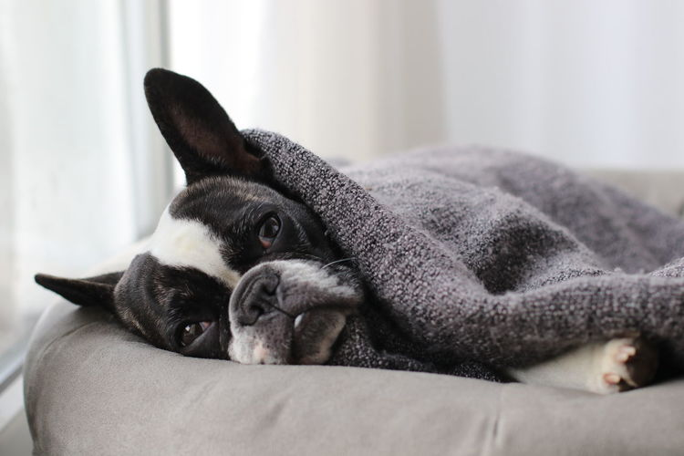 Close-up of french bulldog resting on pet bed