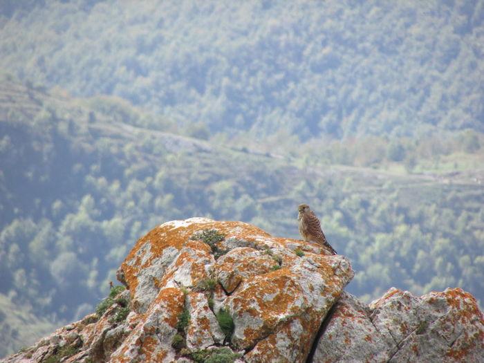 Hawk perching on rock against mountain