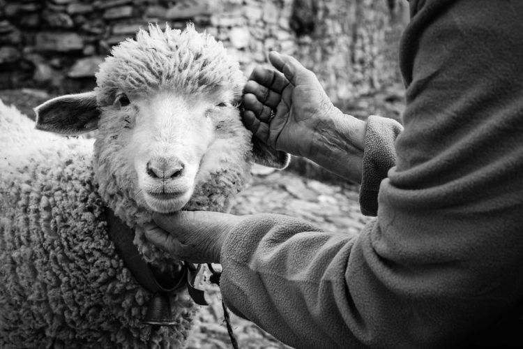 Cropped hands touching sheep at farm