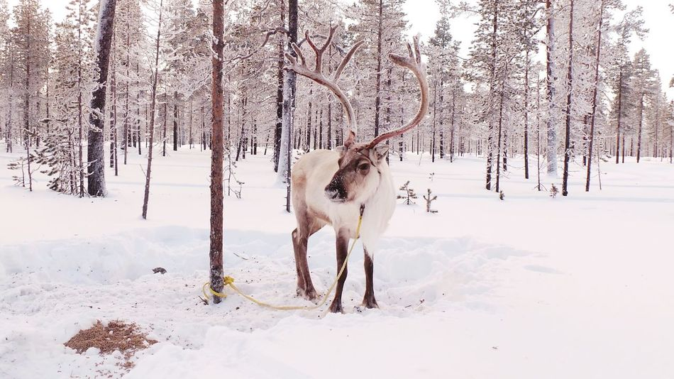 Snow Nature No People Winter Animal Animal Wildlife One Animal Tree Cold Temperature Animal Themes Animals In The Wild Landscape Outdoors Day Beauty In Nature Moose Mammal Lapponia Saariselkå Finlandia Lapland Lapland, Finland Finland Nature Renna