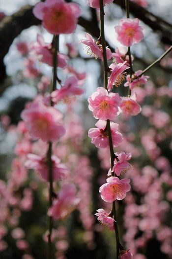 Cascading Plum Blossoms Flowering Plant Flower Cascading Nature Blossom Springtime No People Close-up Beauty In Nature Plum Blossom Pollen Freshness Fragility Vulnerability  Pink Color Petal Tree Selective Focus Inflorescence Hanging Flowers Stamen Full Frame Growth Spring Flowers Spring