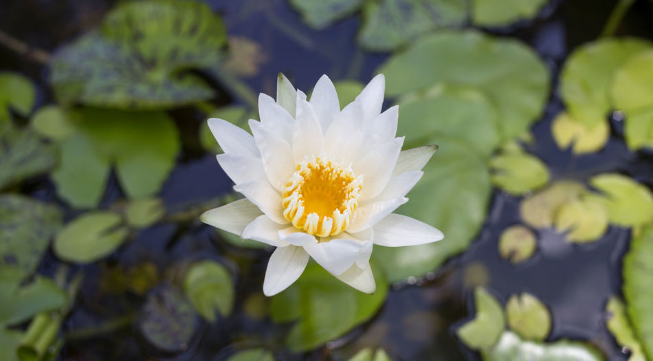 Beauty In Nature Blossom Close-up Floating On Water Flower Flower Head Fragility Freshness Lotus Water Lily Nature Outdoors Plant Softness Water Water Lily