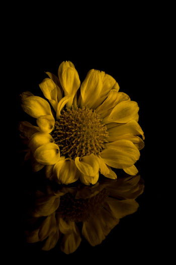 Floral Reflection Close-up Close Up Closeup Macro Macrophotography Macro_flower Flower Yellow Flower Head Petal Fragility Black Background Nature Beauty In Nature Plant