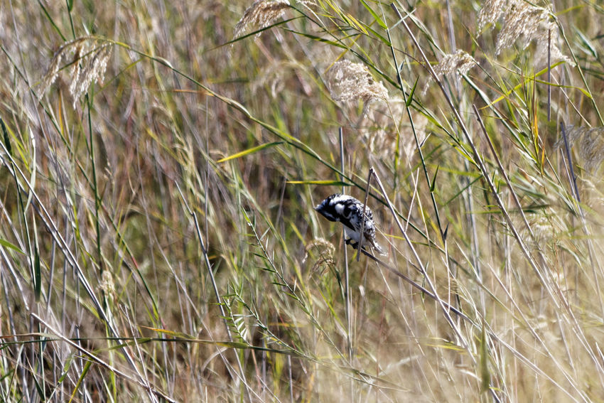 Pied kingfisher preening amongst grasses Kingfisher Kingfisher Bird Pied Kingfisher Ceryle Rudis Okovango Okovango River Cubango River Namibia Grasses Africa EyeEm Selects Animal Themes