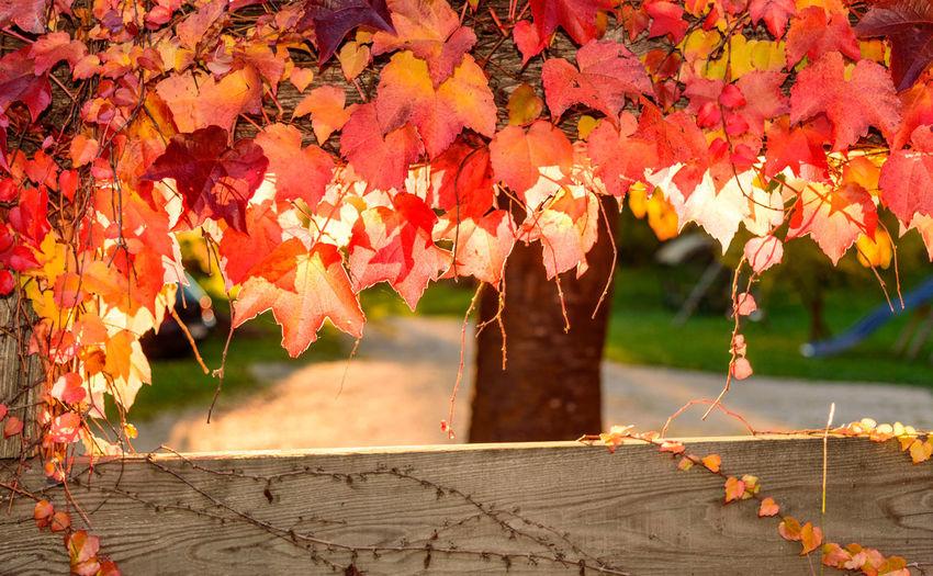 Dry Orange Autumn Leaves Over Fence