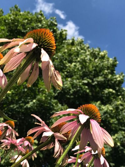 Close-up of coneflowers blooming on plant against sky