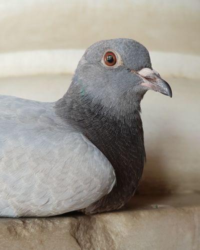 Pigeon Spain♥