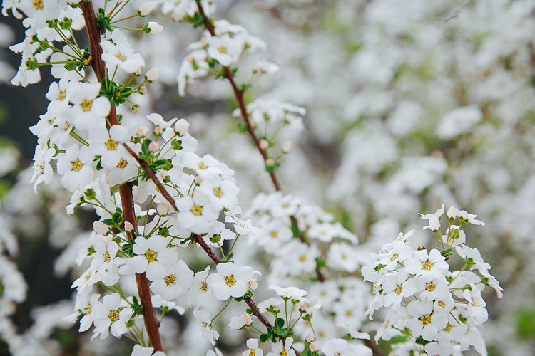 Cherry blossom blooming. Almond Tree Beauty In Nature Blossom Branch Cherry Blossoms Close-up Day Flower Flower Head Fragility Freshness Growth Nature No People Outdoors Plant Springtime Tree White Color