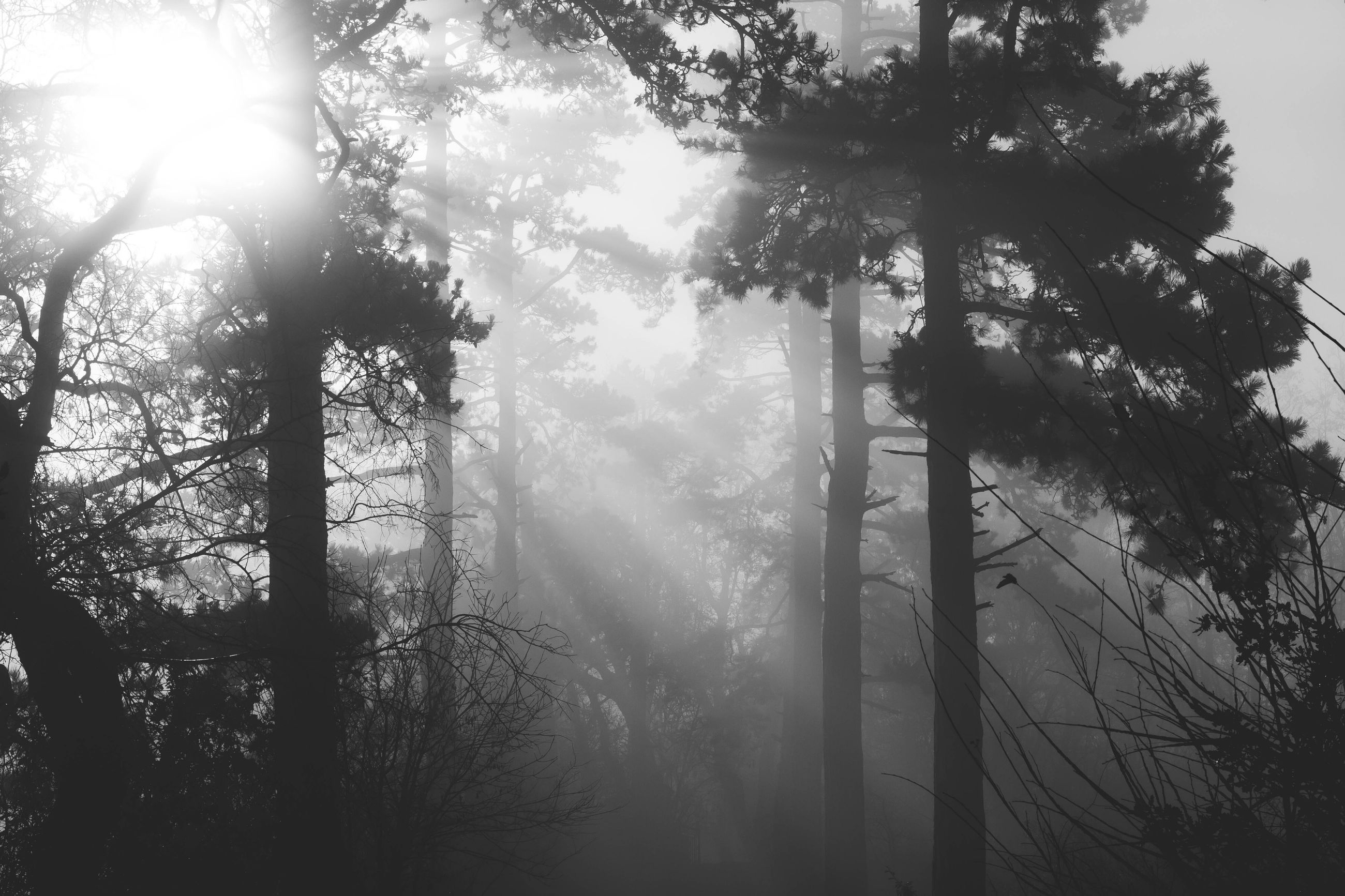 tree, sun, sunbeam, sunlight, tranquility, lens flare, tranquil scene, beauty in nature, nature, scenics, forest, silhouette, growth, tree trunk, branch, fog, back lit, bright, idyllic, no people