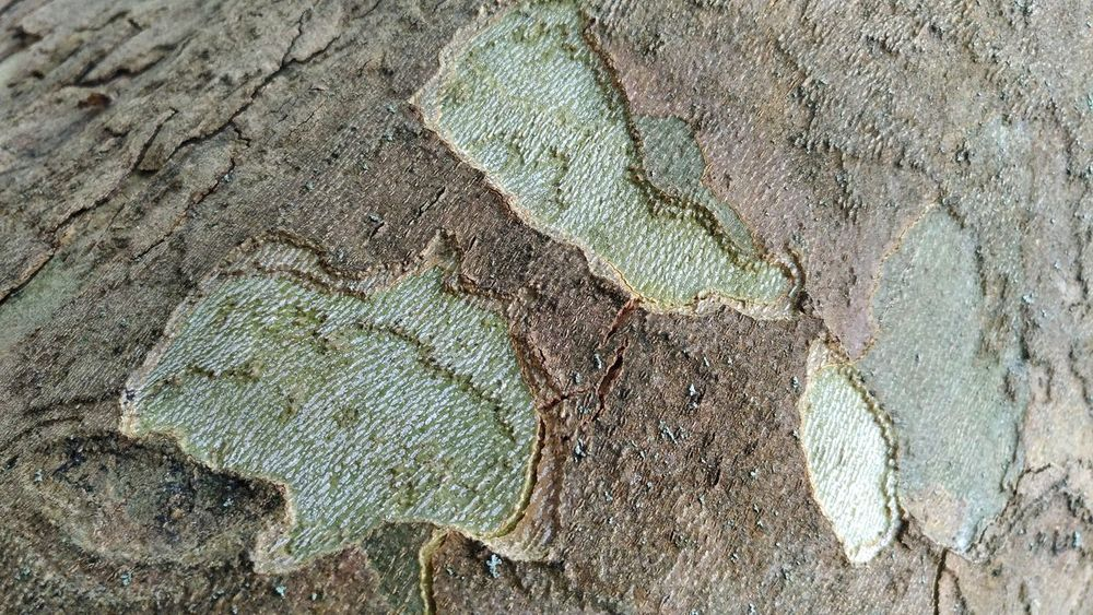 Green Full Frame Backgrounds Textured  Rough Close-up Pattern Day No People Outdoors Nature Haki Bark Of A Tree Bark Bark Texture Background Nature Abstract Textured  Beauty Beauty In Nature Tree