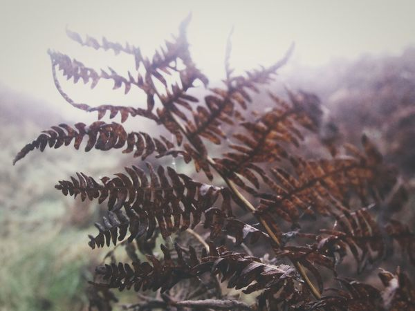 ... out of the Fog ... Fern Leaf Bracken Autumn Fall Leaves Plants Brown Branches Foggy туман папортник Gloomy осень Otoño