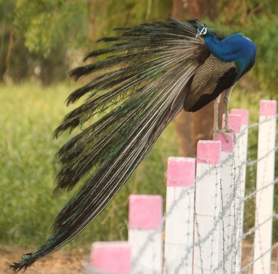Peacock perching on fence