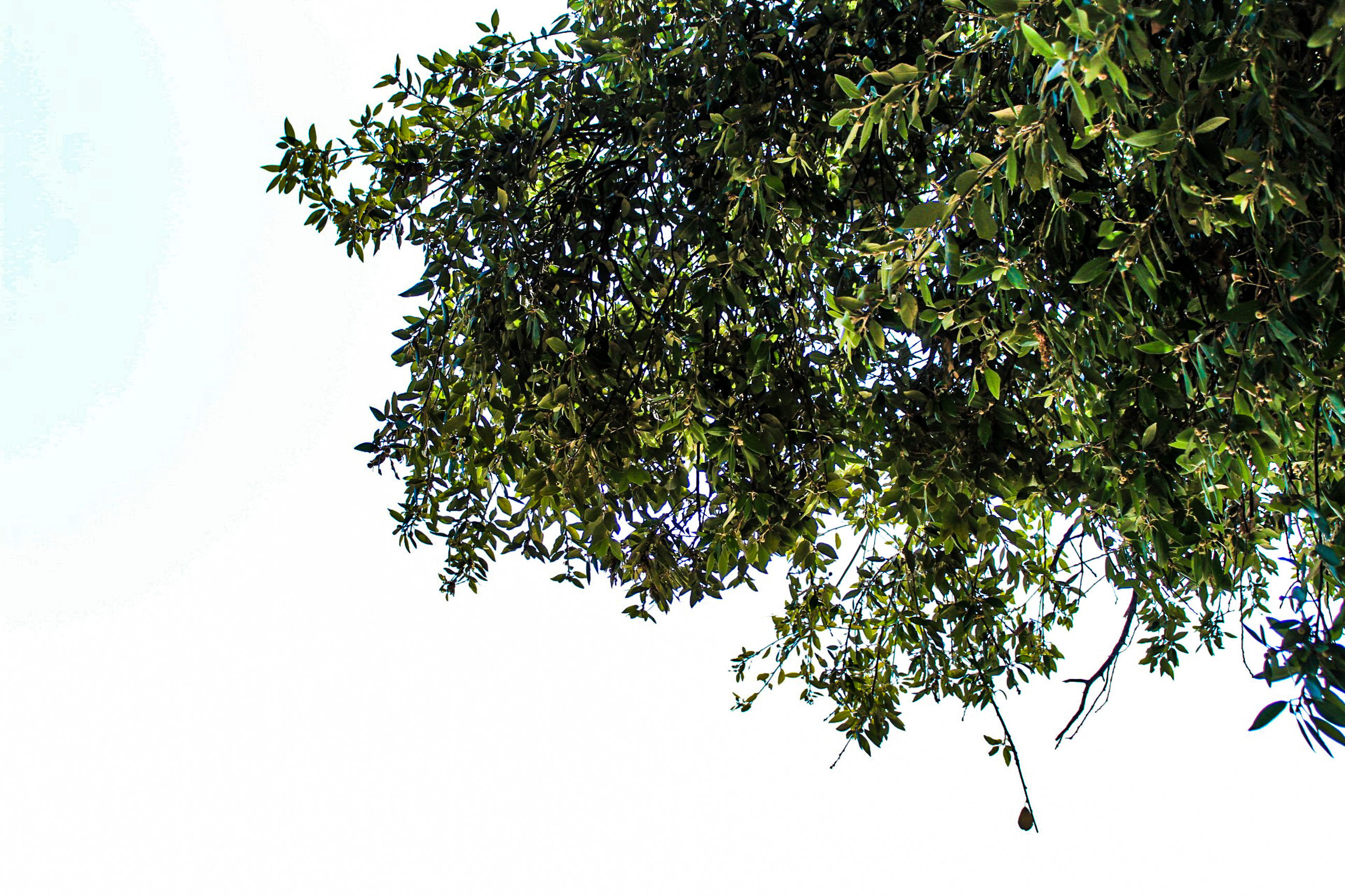 plant, tree, sky, growth, low angle view, beauty in nature, nature, no people, branch, tranquility, day, clear sky, outdoors, green color, plant part, leaf, tranquil scene, scenics - nature, white color, sunlight, tree canopy