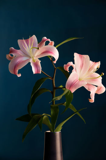 Beauty In Nature Flower Flower Head Freshness Lifestyle Lily Flower Livefolk Livethelittlethings Minimal Minimalstyle Nature Peoplecreatives Pink Color Still Life Still Life Photography Vscoedit YouLiveOnlyOnce