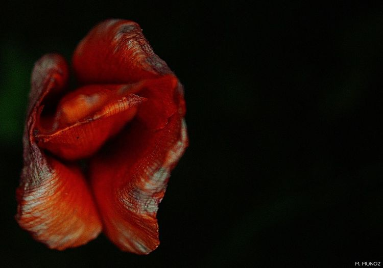 Close-up of red flower over black background