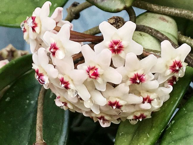 Flower Petal Flower Head Beauty In Nature Nature Freshness Fragility Growth No People Plant Blooming Day Pink Color Outdoors Close-up Leaf Periwinkle Hoya Hoya Carnosa Wax Flower