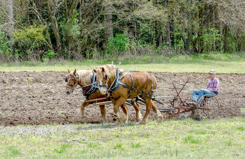 a senior man demonstrates during plow days in Buchanan MI USA, how to plow a field the old fashioned way with horse and plow Job Farmer Field Horses Man Old Fashioned Way Rural Work Day Domestic Animals Equine Farming Field Grass Horse Horse And Plow Livestock Mammal Nature Outdoors Outdoors Photograpghy  Rural Scene Senior Adult The Traveler - 2018 EyeEm Awards