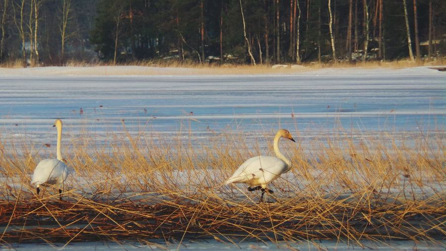 Swans Winter Finland Kuopio Nature Naturephotography Eye Em Nature Lover Nature Photography Forest Bird Photography Birds Birds_collection Swan EyeEm Nature Lover Wildlife Wildlife & Nature Wildlife Photography Wild Animal
