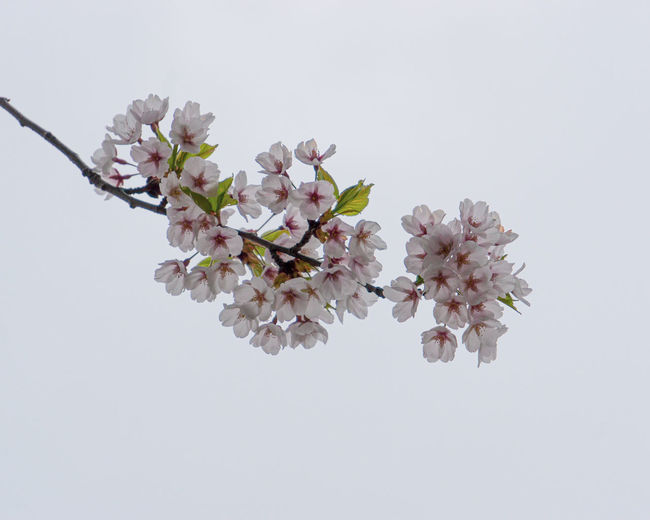 Close-up of cherry blossom against white background