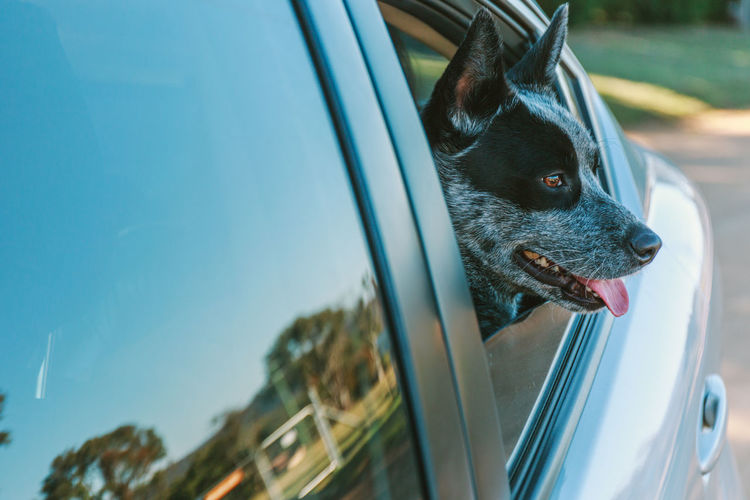 Animal Animal Head  Animal Themes Canine Car Day Dog Domestic Domestic Animals Focus On Foreground Land Vehicle Looking Mammal Mode Of Transportation Motor Vehicle Mouth Open No People One Animal Pets Transportation Vertebrate Window