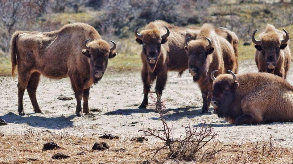 European  Bison Wisent European Bison Dutch Landscape Kennemerduinen Sunny Day Landscape