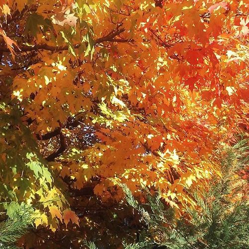 Fall oak tree, Monroe, New York FallinNY Lovethefall TooclosetoKJforcomfort