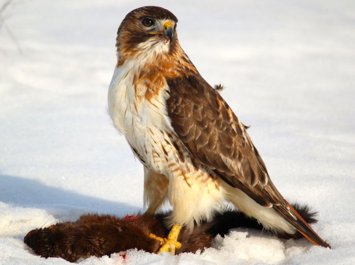 Birds Birds Of EyeEm  Birds Of Prey Canada Hawk Mink Nature Ontario Red-tailed Hawk Wild Animals Animals