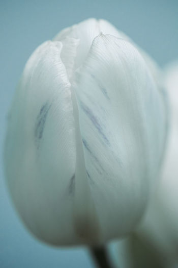 Close-up Fragility Vulnerability  Beauty In Nature Freshness Flowering Plant Plant Petal Flower No People White Color Inflorescence Growth Flower Head Nature Selective Focus Studio Shot Softness Indoors  Tulip
