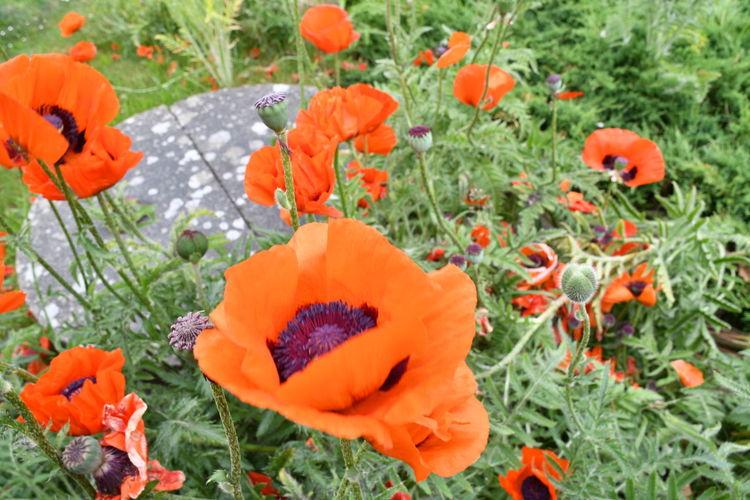 Close-up of orange poppy flowers in field