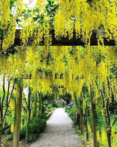 Tree Yellow
