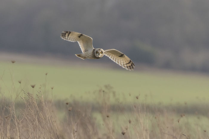 Short Eared Owl in flight Animal Animal Themes Avian Beauty In Nature Bird Close-up Day Focus On Foreground Nature No People Outdoors Selective Focus Short Eared Owl Sky Spread Wings Tranquility Wildlife