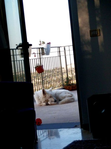 Dogs Life White German Shepherd Swiss Shepherd Lazy Sunday Afternoon Life Home Sweet Home