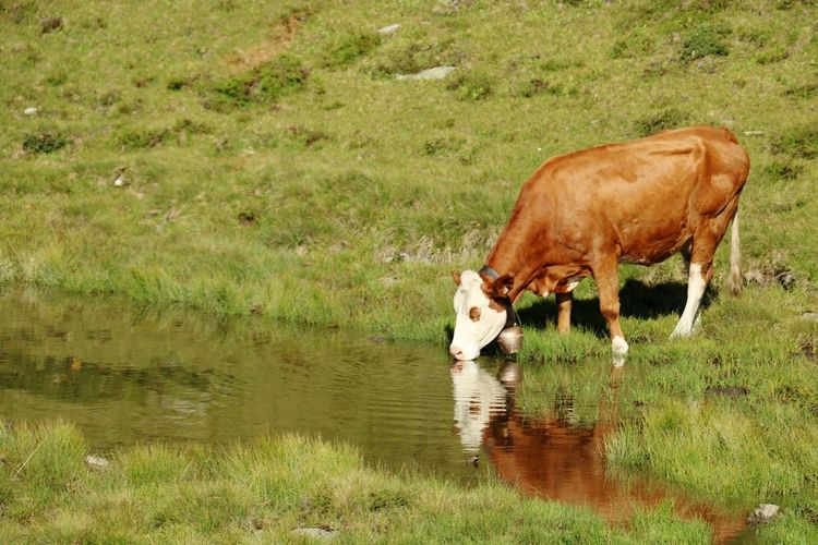 Cow drinking water in a lake