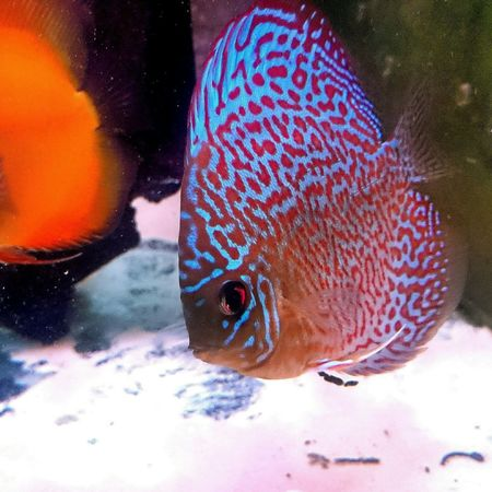 Discus leopard turk Fish Discus Aquarium Aquarium Life Discus Fish Aquatic