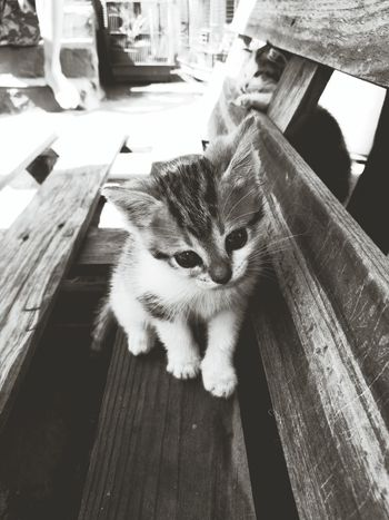 Pets One Animal Domestic Animals Domestic Cat Day No People Indoors  Animal Themes Close-up Cats Of EyeEm Greyscale Playing Discovering Babycat Pet Portraits