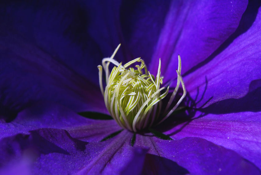 Beauty In Nature Blooming Botany Close-up Flower Flowers Flower Collection Focus On Foreground Fragility Freshness Growth In Bloom Leaf Nature New Life Petal Plant Macro Plant Life Purple Single Flower Perspectives On Nature Maximum ClosenessVibrant Vibrant Color