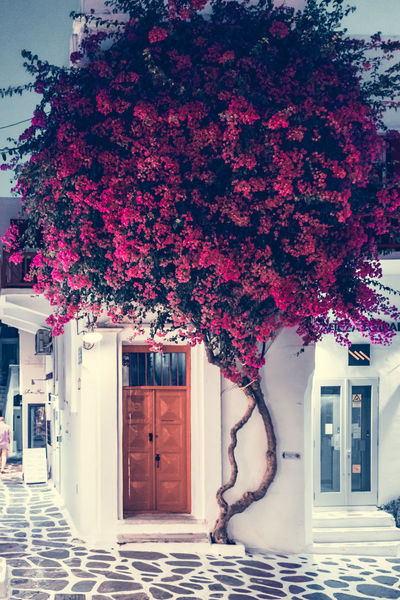 Pink Flowers in Mykonos Greek Islands Architecture Beauty In Nature Building Building Exterior Built Structure Day Door Entrance Flower Flowering Plant Freshness Greece Growth House Mykonos Nature No People Outdoors Paved Path Pink Color Plant Purple Tree White Paint