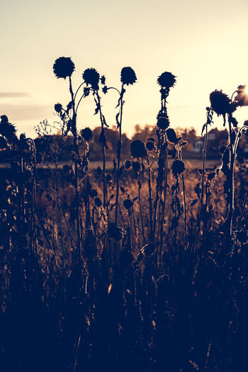 Dead Sunflowers Beauty In Nature Dead Dead Flowers Dead Sunflowers Dusk Field Flower Focus On Foreground Fragility Freshness Growing Growth Landscape Nature Outdoors Plant Scenics Silhouette Sky Stem Sunflowers Sunset Tranquil Scene Tranquility