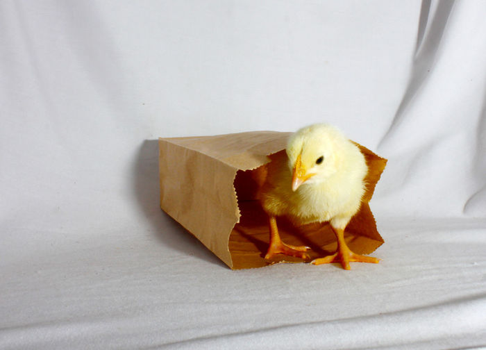 Baby Bag Brown Bag Chick Chicken Chicks Eco Bag Fowl Hen Paper Paper Bags Young