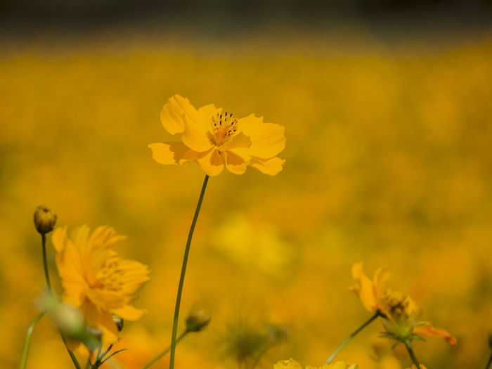 Orange flower concept natural beauty flower Colorful Flower Flowering Plant Fragility Vulnerability  Freshness Plant Beauty In Nature Growth Yellow Petal Close-up Flower Head Inflorescence Nature Selective Focus Plant Stem Field No People Focus On Foreground Land Outdoors Pollen
