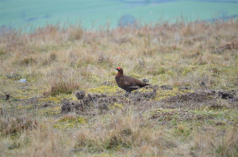Animal Animal Themes Vertebrate Bird Grass Land Plant Animal Wildlife Animals In The Wild Nature Day One Animal No People Field Selective Focus Outdoors Environment Zoology Side View Red Grouse Wildlife By Tania Andreea Uk By Tania Andreea Nature By Tania Andreea