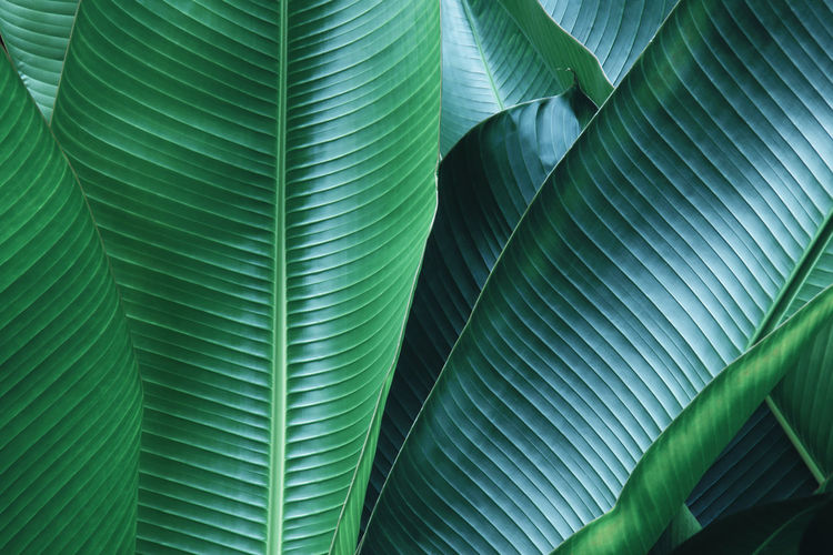 Decorative banana palm leaves natural pattern background
