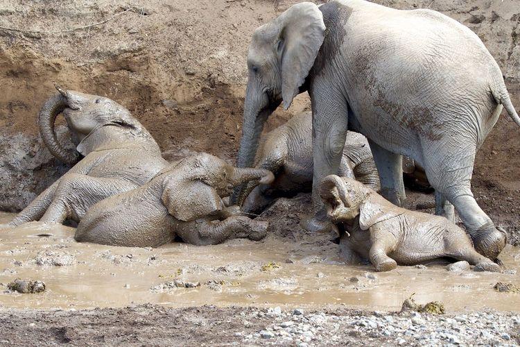 African Elephant Animal Wildlife Animals In The Wild Elephant Large Group Of Animals Mud Bath Multi Colored Nature Outdoors Safari Animals