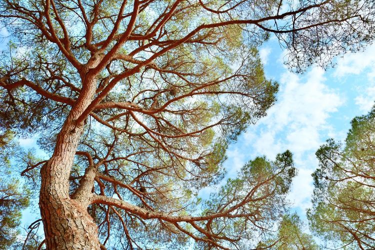 Pine tree top. HDR shot with blue sky and white clouds. View from the ground up. Tree Low Angle View Sky Branch Nature No People Cloud - Sky Tree Trunk Growth Trunk Bare Tree Non-urban Scene HDR High Definition Range Pine Tree Tree Top Top Crown Tree Crown