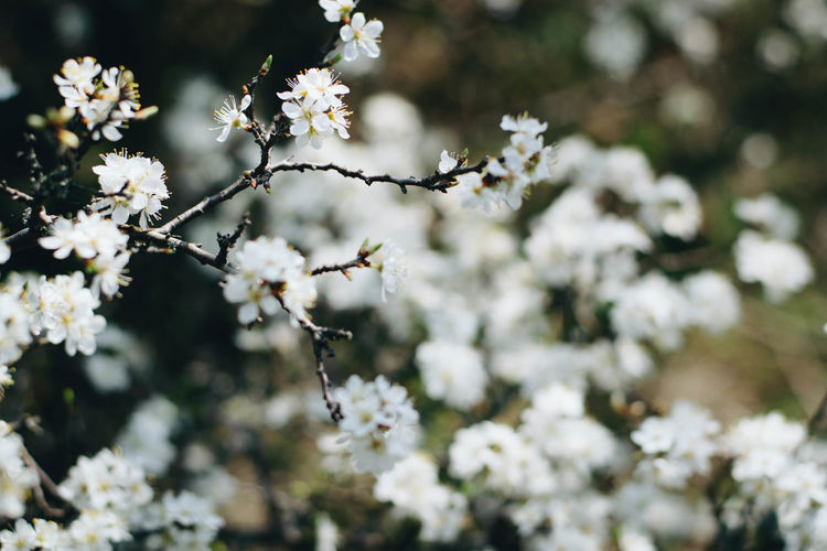 Flowering Plant Flower Plant Fragility Freshness Beauty In Nature Growth Vulnerability  Day White Color Tree Close-up Springtime No People Focus On Foreground Branch Blossom Nature Outdoors Twig Flower Head Cherry Blossom Spring Cherry Tree