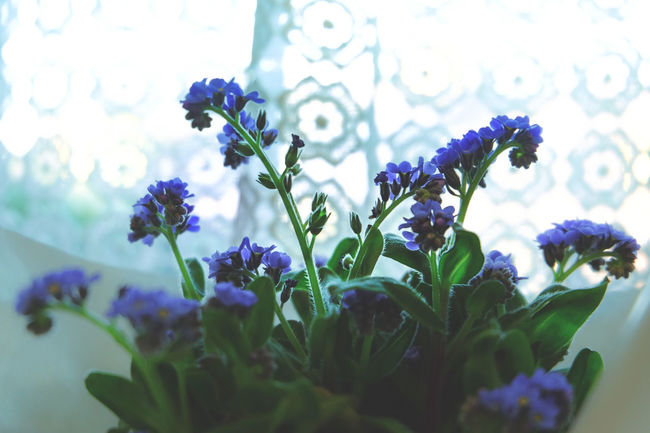 Beauty In Nature Blooming Blue Close-up Day Flower Flower Head Focus On Foreground Forget Me Not Fragility Freshness Growth In Bloom Leaf Nature No People Petal Plant Purple Selective Focus Stem Blue Wave Fine Art Photography