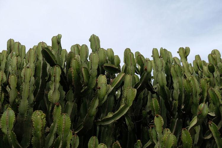 Cactus Growth