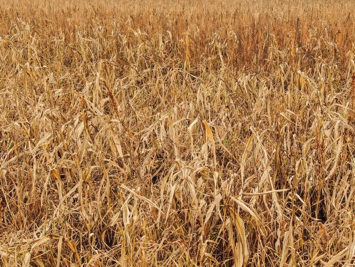 Fields of gold.